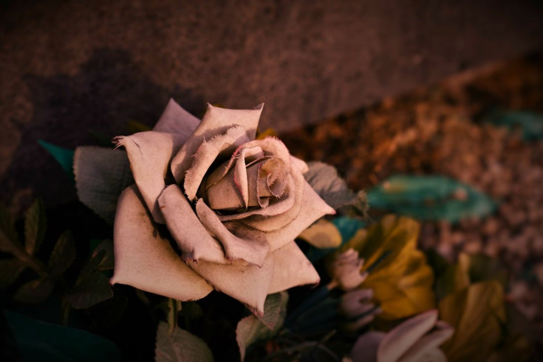 dusty rose flower